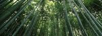 "Low angle view of bamboo trees, Arashiyama, Kyoto Prefecture, Kinki Region, Honshu, Japan by Panoramic Images - 27"" x 9"""
