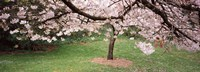 """Cherry Blossom tree in a park, Golden Gate Park, San Francisco, California, USA by Panoramic Images - 27"""" x 9"""""""
