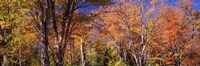 "Trees in autumn, Vermont, USA by Panoramic Images - 27"" x 9"""