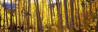 """Aspen tree trunks and foliage in autumn, Colorado, USA by Panoramic Images - 27"""" x 9"""""""