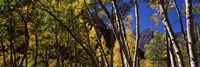 """Aspen trees with mountains in the background, Maroon Bells, Aspen, Pitkin County, Colorado, USA by Panoramic Images - 27"""" x 9"""""""