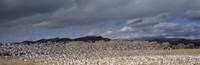 """Flock of Snow Geese Flying Under a Cloudy Sky, Bosque del Apache National Wildlife Reserve, New Mexico by Panoramic Images - 27"""" x 9"""", FulcrumGallery.com brand"""