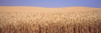 """Golden wheat in a field, Palouse, Whitman County, Washington State, USA by Panoramic Images - 27"""" x 9"""""""