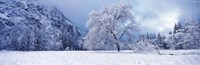 """Snow covered oak tree in a valley, Yosemite National Park, California, USA by Panoramic Images - 27"""" x 9"""""""