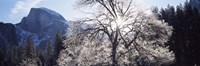 """Low angle view of a snow covered oak tree, Yosemite National Park, California, USA by Panoramic Images - 27"""" x 9"""""""