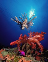 Lionfish (Pteropterus radiata) and Squarespot anthias (Pseudanthias pleurotaenia) with soft corals in the ocean Fine Art Print