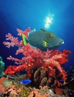 """Orange-Lined triggerfish (Balistapus undulatus) and soft corals in the ocean by Panoramic Images - 9"""" x 27"""""""