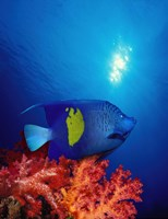 """Yellow-Banded angelfish (Pomacanthus maculosus) with soft corals in the ocean by Panoramic Images - 20"""" x 27"""""""