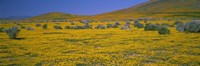 Yellow Wildflowers on a landscape, California Fine Art Print