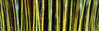 """Bamboo trees in a botanical garden, Kanapaha Botanical Gardens, Gainesville, Alachua County, Florida by Panoramic Images - 27"""" x 9"""", FulcrumGallery.com brand"""