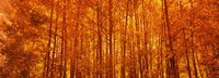 """Aspen trees at sunrise in autumn, Colorado (horizontal) by Panoramic Images - 27"""" x 9"""""""