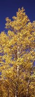 """Low angle view of aspen trees in autumn, Colorado by Panoramic Images - 9"""" x 27"""""""