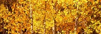"""Aspen trees with yellow foliage, Colorado, USA by Panoramic Images - 27"""" x 9"""""""