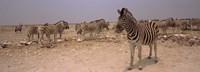 "Herd of Burchell's zebras (Equus quagga burchelli) in a field, Etosha National Park, Kunene Region, Namibia by Panoramic Images - 27"" x 9"""