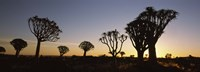"""Silhouette of Quiver trees (Aloe dichotoma) at sunset, Namibia by Panoramic Images - 27"""" x 9"""", FulcrumGallery.com brand"""