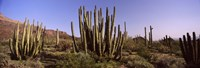 Organ Pipe Cacti on a Landscape, Organ Pipe Cactus National Monument, Arizona, USA Fine Art Print