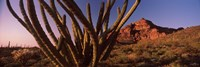 Organ Pipe cactus on a landscape, Organ Pipe Cactus National Monument, Arizona Fine Art Print