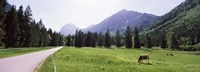 """Cows grazing in a field, Karwendel Mountains, Risstal Valley, Hinterriss, Tyrol, Austria by Panoramic Images - 27"""" x 9"""""""