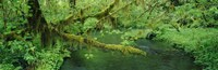 """Stream flowing through a rainforest, Hoh Rainforest, Olympic National Park, Washington State, USA by Panoramic Images - 27"""" x 9"""""""