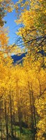 """Valley with Aspen trees in autumn, Colorado, USA by Panoramic Images - 9"""" x 27"""""""