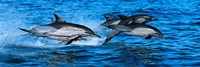 """Dolphins in the sea by Panoramic Images - 27"""" x 9"""""""