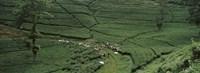 Tea Plantation Java Indonesia