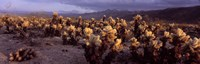 """Cholla Cactus in a desert, California, USA by Panoramic Images - 27"""" x 9"""""""