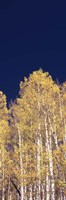 """Low angle view of Aspen trees, Colorado, USA by Panoramic Images - 9"""" x 27"""""""