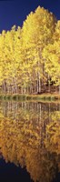 """Reflection of Aspen trees in a lake, Telluride, San Miguel County, Colorado, USA by Panoramic Images - 9"""" x 27"""""""