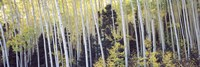 """Aspen trees in a forest, Aspen, Pitkin County, Colorado, USA by Panoramic Images - 27"""" x 9"""""""
