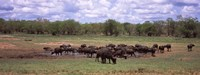 """Herd of Cape buffaloes (Syncerus caffer) use a mud hole to cool off in mid-day sun, Kruger National Park, South Africa by Panoramic Images - 27"""" x 9"""" - $28.99"""