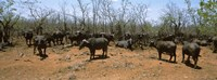 """Herd of Cape buffaloes wait out in the minimal shade of thorn trees, Kruger National Park, South Africa by Panoramic Images - 27"""" x 9"""" - $28.99"""
