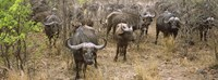 """Herd of Cape buffaloes, Kruger National Park, South Africa by Panoramic Images - 27"""" x 9"""" - $28.99"""