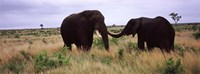 """Two African elephants (Loxodonta Africana) socialize on the savannah plains, Kruger National Park, South Africa by Panoramic Images - 27"""" x 9"""", FulcrumGallery.com brand"""
