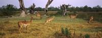 Herd of impalas (Aepyceros Melampus) grazing in a field, Moremi Wildlife Reserve, Botswana Fine Art Print