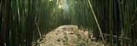 Bamboo forest, Hana Coast, Maui, Hawaii, USA Fine Art Print