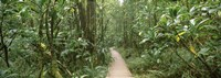"""Young bamboo with path, Oheo Gulch, Seven Sacred Pools, Hana, Maui, Hawaii, USA by Panoramic Images - 27"""" x 9"""""""