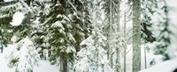 """Snow covered evergreen trees at Stevens Pass, Washington State by Panoramic Images - 27"""" x 9"""""""