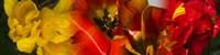 Close-up of Tulips Fine Art Print