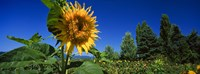 "Close up of a sunflower in a field, Hood River, Oregon by Panoramic Images - 27"" x 9"", FulcrumGallery.com brand"