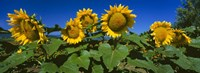 "Panache Starburst sunflowers in a field, Hood River, Oregon by Panoramic Images - 27"" x 9"" - $28.99"