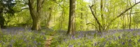 """Trees in a forest, Thursford Wood, Norfolk, England by Panoramic Images - 27"""" x 9"""""""