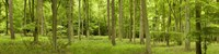 "Spring in Thetford Forest, Norfolk, England by Panoramic Images - 27"" x 9"""