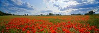 "Close Up of Red Poppies in a field, Norfolk, England by Panoramic Images - 27"" x 9"", FulcrumGallery.com brand"