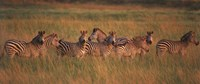 "Burchell's zebras (Equus quagga burchellii) in a forest, Masai Mara National Reserve, Kenya by Panoramic Images - 27"" x 9"""