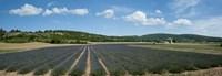"""Lavender fields near D701, Simiane-La-Rotonde, Alpes-de-Haute-Provence, Provence-Alpes-Cote d'Azur, France by Panoramic Images - 27"""" x 9"""""""