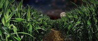 Dark Corn Field