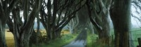 """Road at the Dark Hedges, Armoy, County Antrim, Northern Ireland by Panoramic Images - 27"""" x 9"""""""