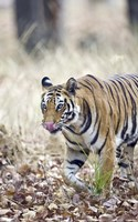 """Bengal tiger (Panthera tigris tigris) in a forest, India by Panoramic Images - 11"""" x 18"""" - $24.99"""