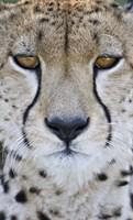 "Close-up of a cheetah (Acinonyx jubatus), Tanzania by Panoramic Images - 11"" x 19"""